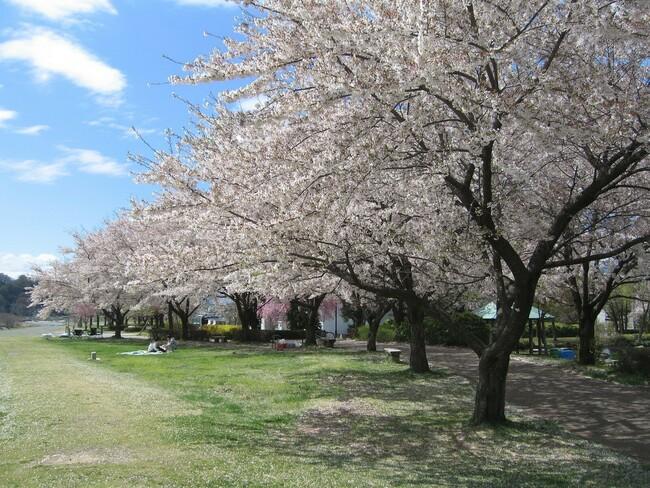 代々木桜.jpg